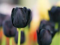 Черные и попугайные тюльпаны скоро можно будет увидеть на Елагином острове в Санкт-Петербурге