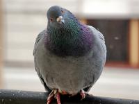 В Боровичах кто-то развлекается стрельбой по птицам из окна