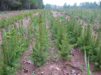 В Боровичском лесхозе завершается посевная