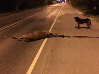 На улице Федоровский ручей погиб лосенок