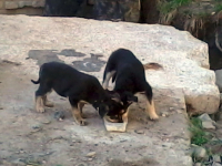 В Великом Новгороде замуровали в теплотрассе живых щенков