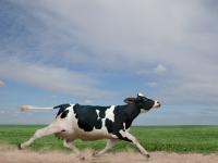 Бегство из Евросоюза: корова Пенка останется в живых