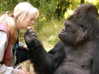 На 47-м году жизни умерла знаменитая горилла Коко, знавшая язык жестов