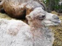 В Ленобласти новорожденного верблюжонка назвали в честь Черчесова