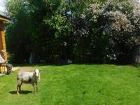 В новгородской деревне овечка Бараша чувствует себя собакой и хочет жить в будке