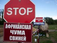 В соседнем  с Новгородчиной районе Ленобласти кабаны погибли от АЧС