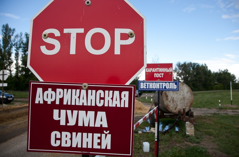 Для живущих рядом с Волотом разработали памятку из-за уничтожения тысяч свиней