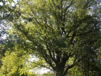 В парке графини Орловой-Чесменской вылечат старинные деревья и возродят фруктовый сад