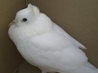 В Новгородской области спасают голубей нетипичного окраса