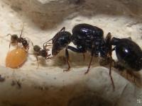 Новгородец предлагает на сайте объявлений муравьёв-солдат