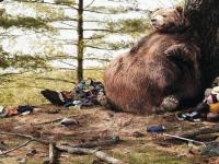 Медведи в маловишерской деревне «наедятся и уйдут спать»