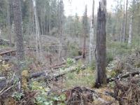 В Боровичском и Окуловском районах ликвидируют новые ветровалы