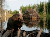 В Пестовском районе «изымут» 17 бобров из-за проблем с дорогами