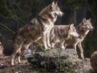 Жители небольших деревень Новгородской области в страхе — волки нападают на собак