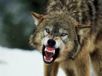 Жители одного из новгородских поселков жалуются на разгуливающих по улицам волков