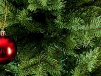 Новую новогоднюю ель для Великого Новгорода выбрали после того, как ее понюхали
