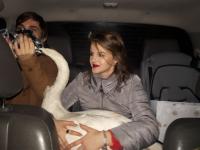 Съемочная группа НТ отвезла раненого лебедя к ветеринару