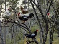 Солецкие аномалии: земляника в ноябре и курицы на яблоне