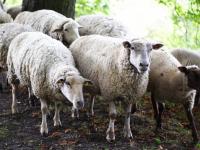 В опасном месте Новгородской области пропало стадо овец во главе с бараном