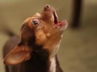 В Окуловке хотят ущемить право собак на лай