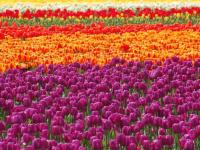 В Великом Новгороде под зиму высадили более 10 000 тюльпанов
