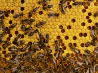 Пасечник из Новгородской области соблазнил взяткой, но не пчел