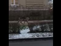 По городу Пушкин гуляет олень. Похоже, он сбежал от «эксплуататоров»