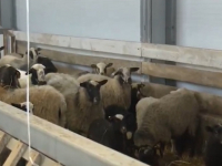 В Новгородском районе открылась овцеводческая экоферма