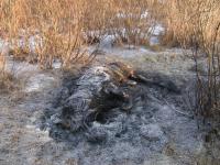 В Старой Руссе МЧС и ветврачи неделю не могли сжечь дохлого поросёнка
