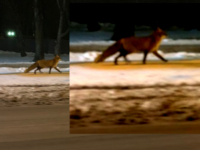 В центре Великого Новгорода гуляет лиса с гордой походкой