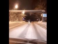Видео: в Малой Вишере лось летящей походкой прогуливается по улицам города