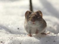 В Новгородской области увеличилось число заражений геморрагической лихорадкой с почечным синдромом