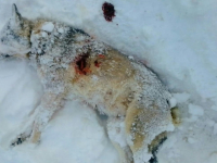 В Новгородской области волки напали на дом командира поискового отряда «Находка» Александра Морзунова