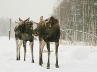 В Новгородском районе лоси ходят по краю проезжей части