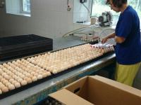 Россельхознадзор проверил испанские яйца для «Новгородского бекона»