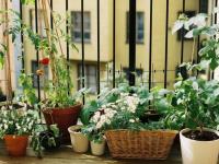 Огород на балконе: рассказываем, какие сорта овощей лучше выбрать для посадки
