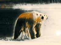 В выходные в Великом Новгороде проплывут «Белые Медведи»