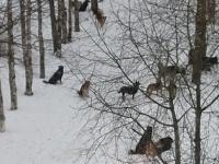 Жители Чудова жалуются на бабушек, подкармливающих стаю из более 15 собак