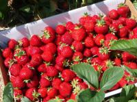 Чем и как подкормить клубнику весной, чтобы получить хороший урожай летом?
