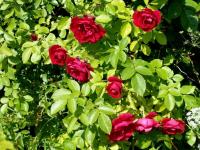 Когда лучше открывать розы и чем их подкормить после долгой зимы?