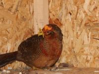 Новыми обитателями новгородского Соколиного двора стали «Жар-птицы»