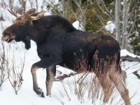 Охотнику из Старой Руссы придется понести наказание за убийство лося