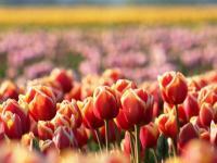 В Великом Новгороде высадят более 265 тысяч растений