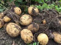 Когда и как сажать картофель и какие сорта выбрать, чтобы получить хороший урожай?