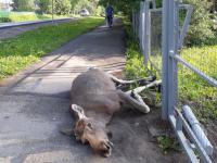 Нашествие животных: в Великом Новгороде погиб еще один лось