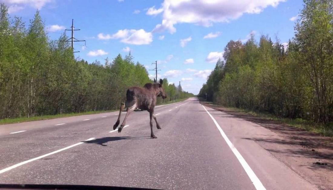 Рядом с Великим Новгородом бегает лось – водителей просят быть осторожными
