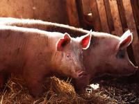 В Батецком районе в связи с АЧС начнут уничтожать свиней