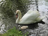 Музей-заповедник в Гатчине защищает лебедя-вдовца и его сына от поклонников