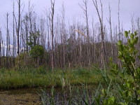 В Новгородской области из-за заболачивания погибло 5 га зеленых насаждений лесничества