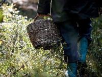 В Новгородском районе 73-летняя пенсионерка с подругой два часа не могли выйти из леса
